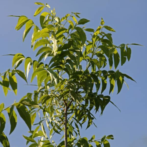 pecan-nut-tree-branch-with-leaves